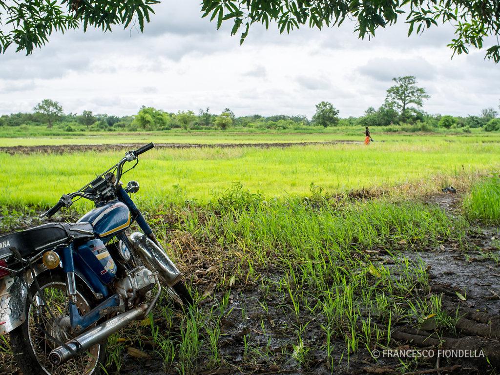 Rice Paddies, Mali