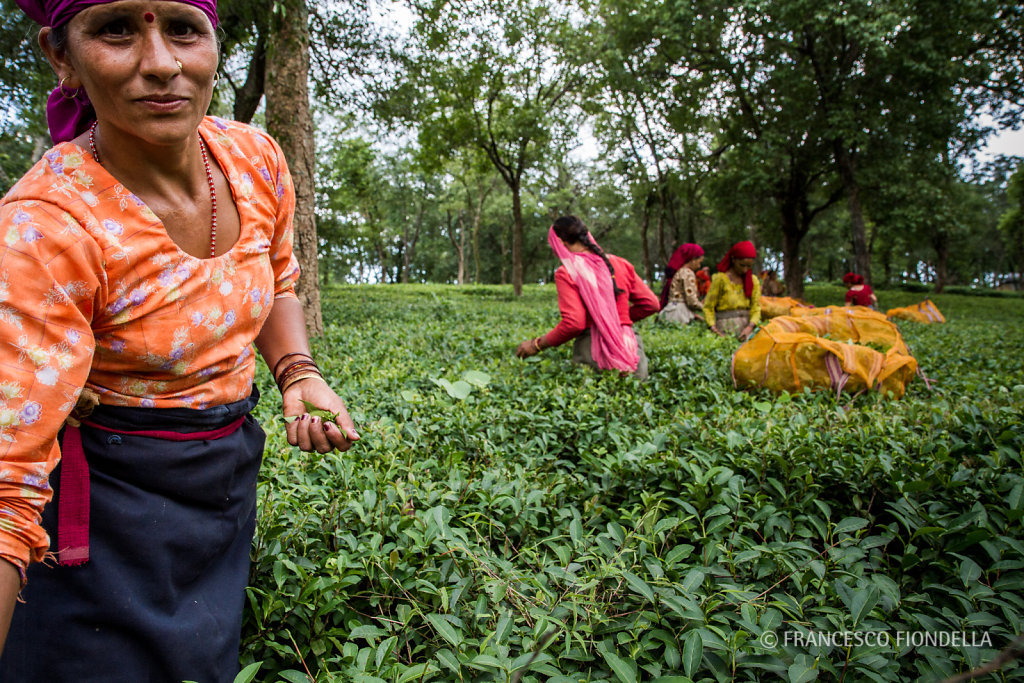 Tea harvest, Palampur